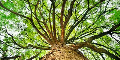 160905---Big-green-tree